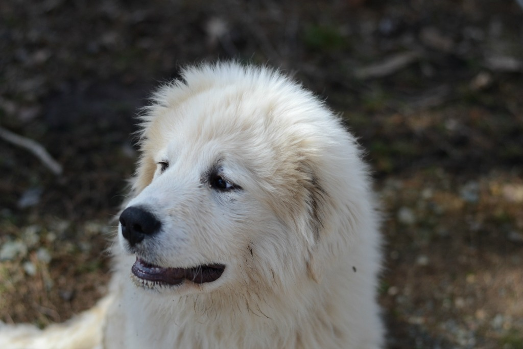Gus- Our Great Pyrenees Puppy